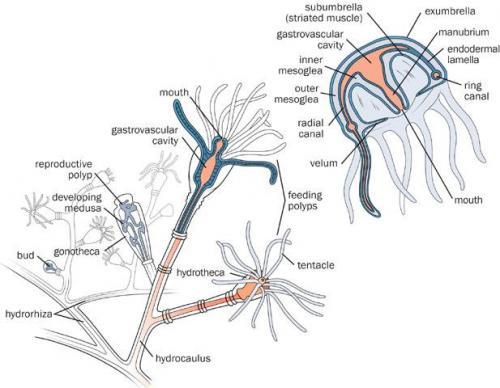 Virtual museum Hydrozoa HydrozoansObelia Hydroid Slide