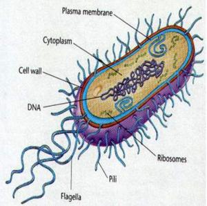 A simplified sketch of bacteria