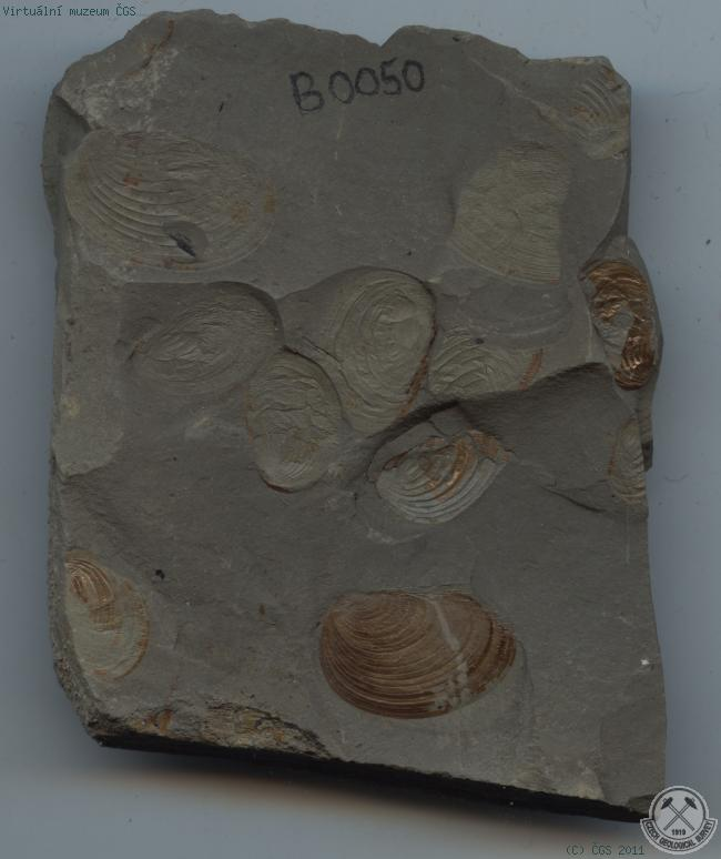 Virtual museum - Branchiopoda (Branchiopods)