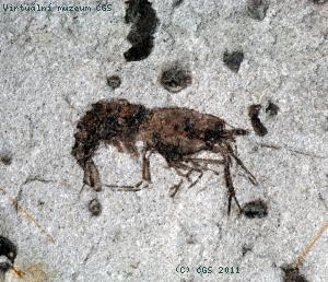 Bechleja inopinata